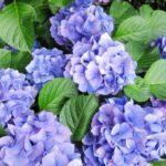 紫陽花の種類と新種で人気のある花はコレ!ランキングや名前の一覧&銀河とアナベルについて